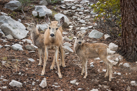 Three-Deer-John-Muir-Trail